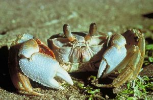 crab image from http://commons.wikimedia.org/wiki/File:Ghost_crab.jpg